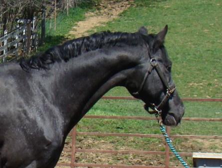 wapuzzan black sport appaloosa stallion.....
