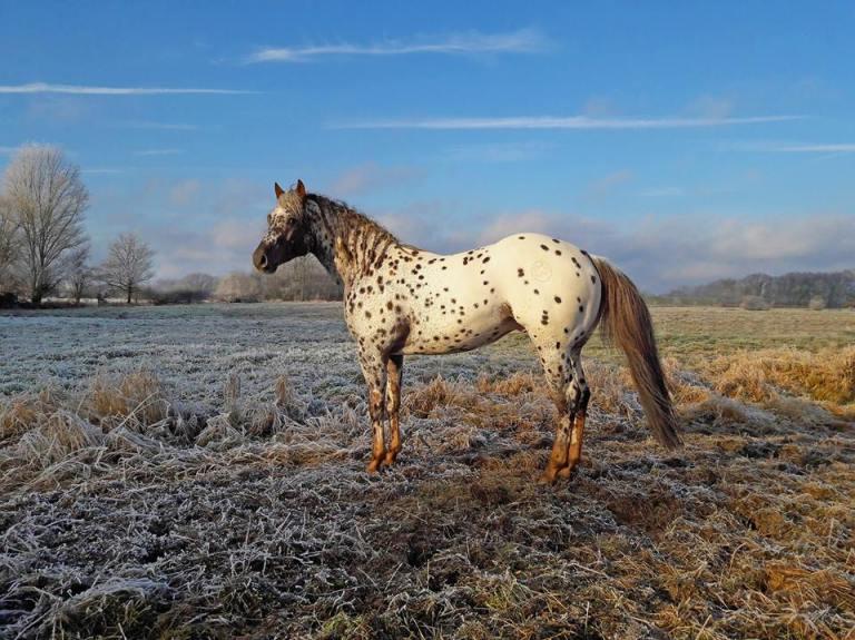 topsail-viper-appaloosa-stallion-reining-champion-copertina1