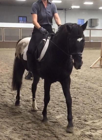 wapuzzan black sport appaloosa stallion