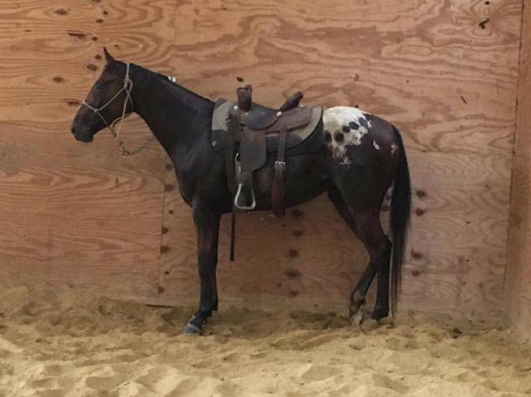 wapz-zenatta-appaloosa-filly-jump-3