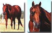 JD-COLONEL-WHIZ-Stallone-Quarter-Horse